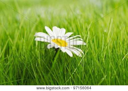 Chamomile flowers in fresh spring green grass close-up