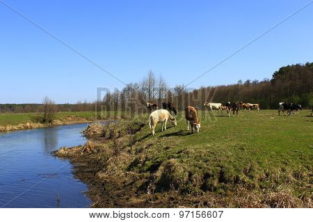 Cow Goes Near The River