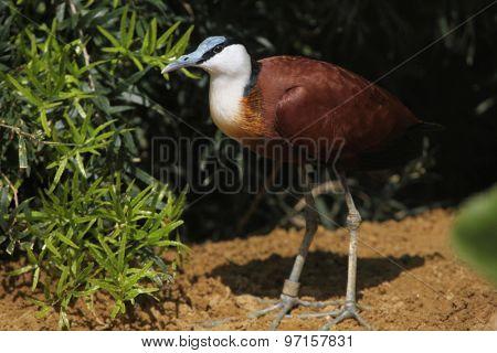 African jacana (Actophilornis africanus). Wild life animal.