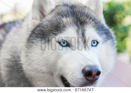 Close up on blue eyes of siberian dog