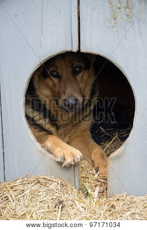 Dog in the wooden doghouse.