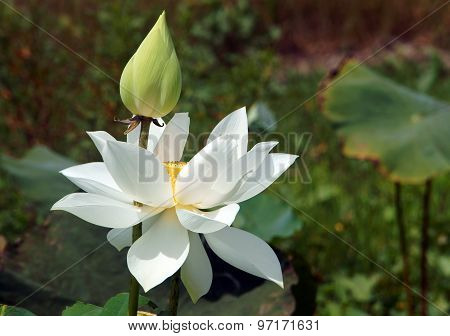 Vietnamese Flower, White Lotus Flower