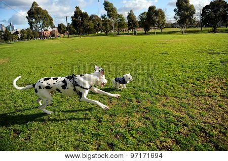 Dalmatian chasing a little Japanese Spitz puppy on grass