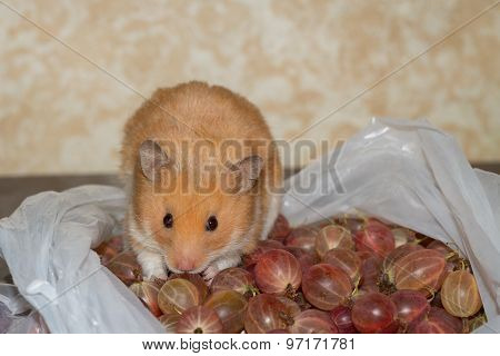 Hamster and gooseberry
