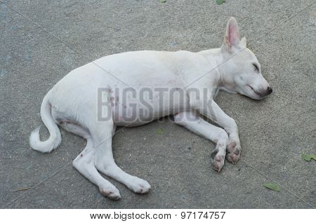 A White Dog Sleeping On Cement.