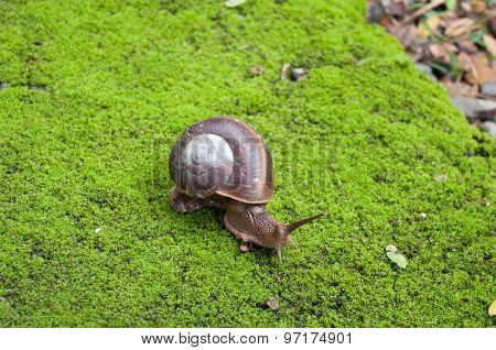 Close Up Snail Crawling On Moss.