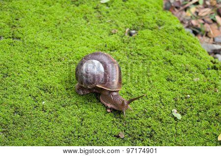 Close Up Snail Crawling On Moss.