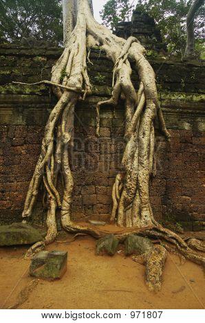 Ta Phrom Roots