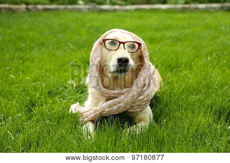 Adorable Labrador in glasses and scarf lying on green grass, outdoors