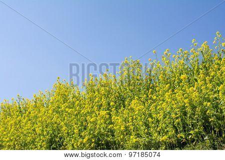Cole flower field