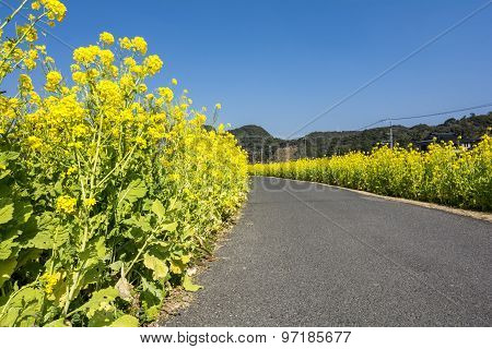 Cole flower and roadway