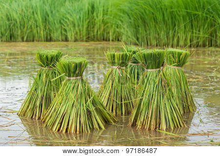 Rice field, Asia paddy field