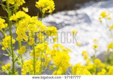 Close up cole flower
