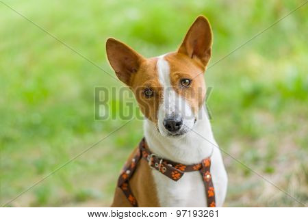 Portrait of gorgeous basenji dog