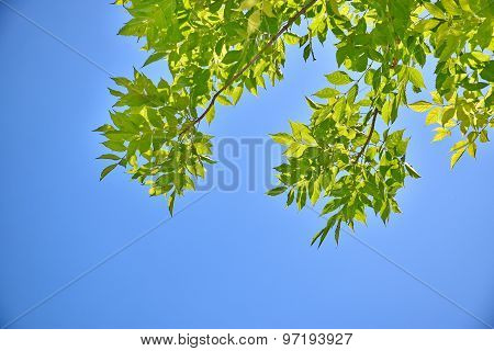 fresh green leaves on sky