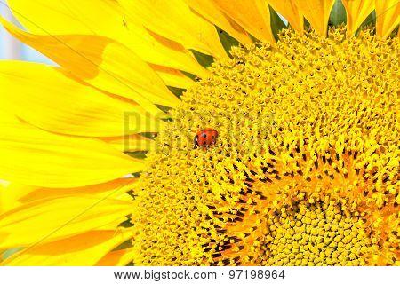 Ladybug On Sunflower Close Up