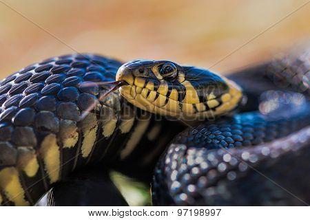 Grass-snake