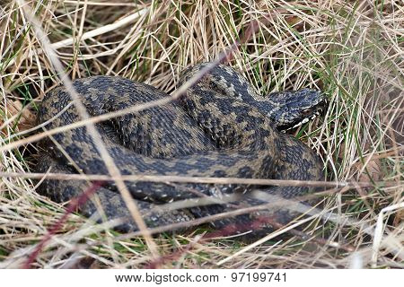 Common European Adder (vipera Berus)