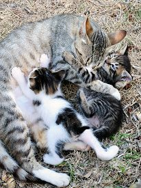 image of lactating  - Mother cat and kittens during lactation photographed in daylight - JPG
