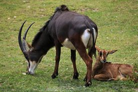 picture of antelope horn  - Sable antelope  - JPG