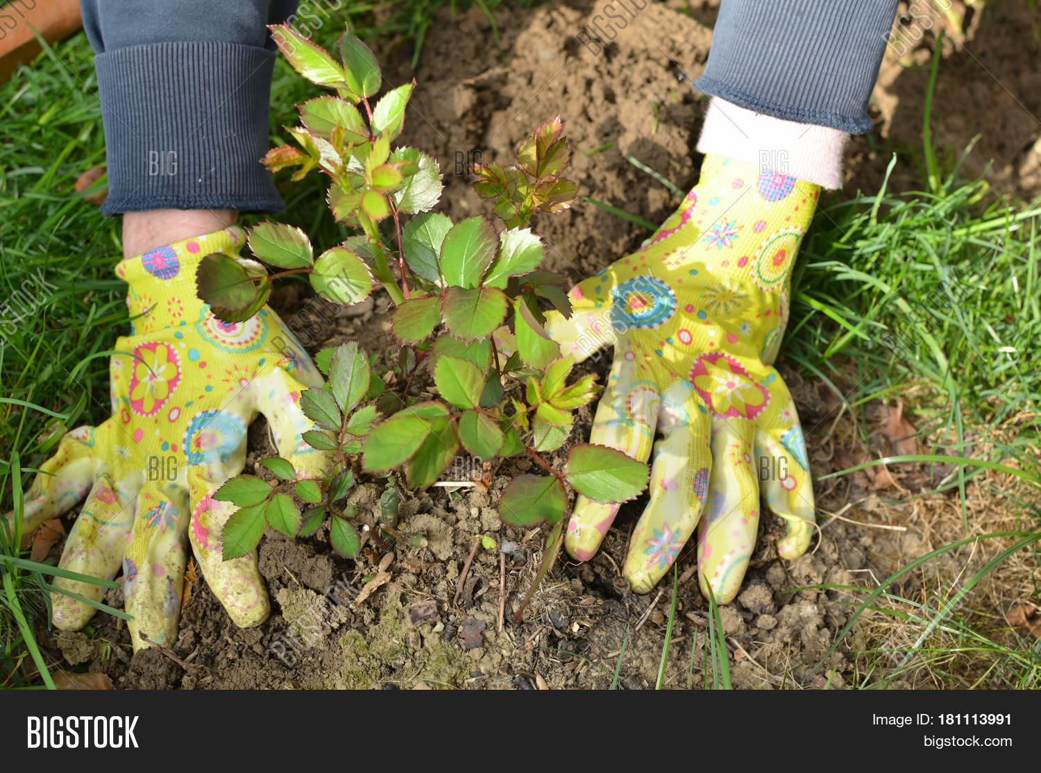 Hands garden gloves planting rose image photo bigstock for Big hands for gardening