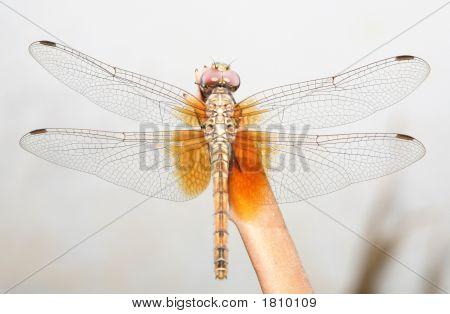 Arabian Dragonfly