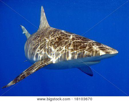 Shimmering Shark