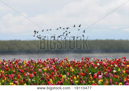 Tulip Field in the Morning Fog