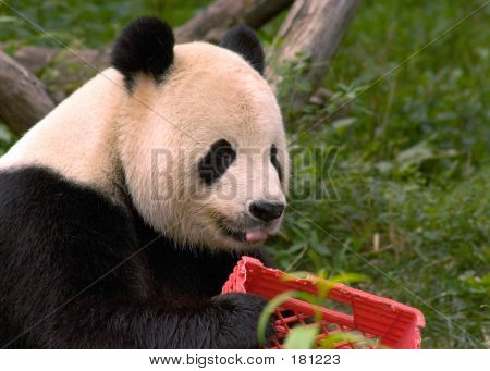 Giant Panda With Milk Crate 4