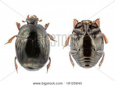 Chalcionellus Amoenus