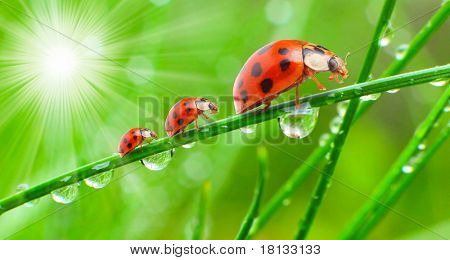Early morning scenery. The ladybugs family running on a dewy grass. Conceptual image. Sunny day metaphor.