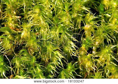 Green Moss Background (sphagnum Spp)