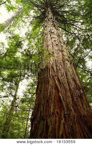 Tall Redwood tree