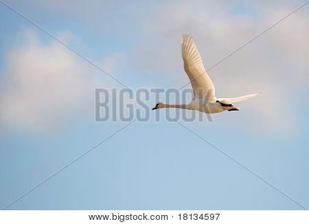Whooper swan. (Cygnus cygnus)