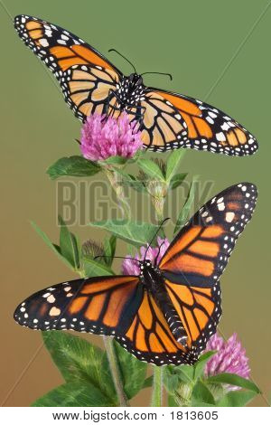 Monarchs On Clover