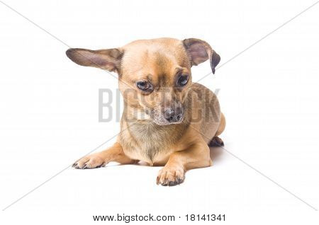 Dog With A Bent Ear