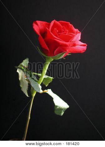 Rosa roja en la noche