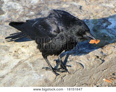 Crow Holding Food