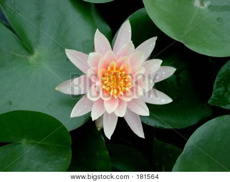 A Beautiful Lotus Flower Seen In Water, Its Natural Environment.