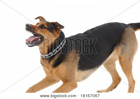 Angry Dog With Bared Teeth On The White Background