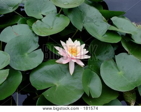 A Beautiful Fresh Lotus On Water.
