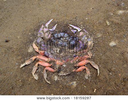 Roadkill Rainbow Colored Crab