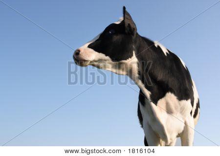 Sideway Cow
