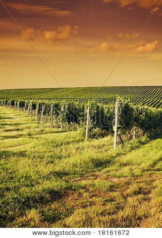 Evening View Of The Vineyards