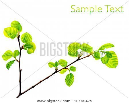 Vector branch of green beech leaves isolated on white background.