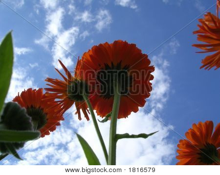 Calendula At Sky Background