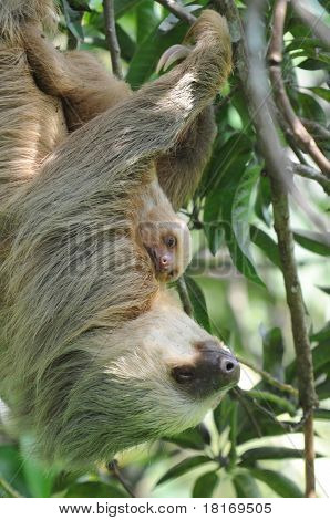 Three Toe sloth Mother With Baby, Costa Rica