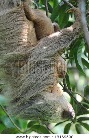 Mother And Baby sloth In Tree, Costa Rica