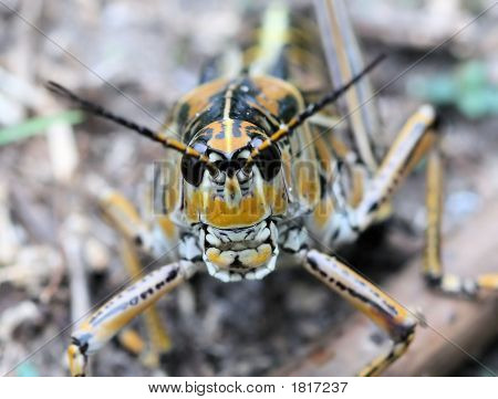 Spurthroated Grasshopper