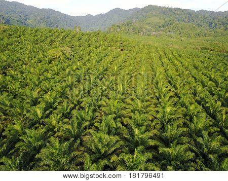 Aerial drone view of oil palm plantations on cleared forest land in Thailand